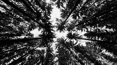 Up to one point (frankdorgathen) Tags: attendorn sauerland pfingsten 2018 tree baum forest wald blackandwhite schwarzweis schwarzweiss monochrome perspective perspektive wideangle weitwinkel sony1018mm alpha6000