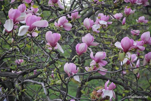 Ботанічний сад імені Гришка Цвітуть магнолії InterNetri  Ukraine 198