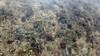 Cropped Tape seagrass (Enhalus acoroides) (wildsingapore) Tags: seagrasses enhalus acoroides pulau semakau south singapore marine coastal intertidal shore seashore marinelife nature wildlife underwater wildsingapore