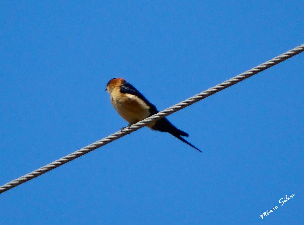 Águas Frias (Chaves) - ... ave canora enchendo o ar com os seus belos trinados ...