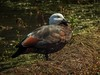 Paradise Shelduck - female (njohn209) Tags: birds d500 nikon nz