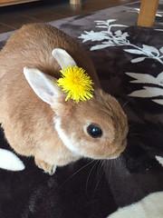 ひめちゃん (ココロのおうち) Tags: rabbit bunny pet 動物 うさぎ ペット うさぎ専門店 ココロのおうち うさぎラブ