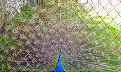 chain link fence ( and peacock ) (iwbaird) Tags: peacock birds nature display lgphonecamera smileonsaturday fancyfence
