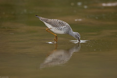 Lesser Yellowlegs (grobinette) Tags: lesseryellowlegs sandpiper shorebirds huntleymeadowspark huntleymeadows explored