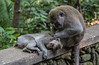 Mother's love (Monika Kalczuga (on&off)) Tags: monkeys monkey motherslove monkeysanctuaryforest ubud sanctuary forest nature free bali indonesia asia mammal animal