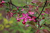 IMG_2217 (Joan van der Wereld) Tags: spring nature flowers blossoms blossoming tree pink green twig