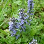 Sauvage au jardin, bugle rampante (Ajuga reptans), Bosdarros, Béarn, Pyrénées Atlantiques, Aquitaine, France. thumbnail