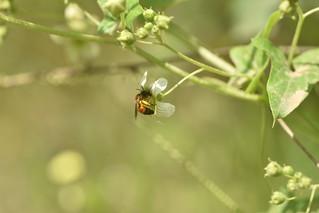 Andrena florea 01 01