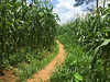 Path through corn field (whitworth images) Tags: agriculture path monsoon maize pokhara asia corn crop nepal kaski field green rural village indiansubcontinent tall