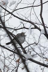 Turdus eunomus (kenta_sawada6469) Tags: bird birds nature winter japan aves wildlife muscicapidae snow scolopacidae seaofjapan sea
