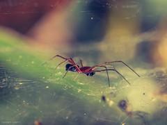 Spider (explored) (Joseph.K.) Tags: olympus omd olympus60mmf28 em1 spider spiderweb macro makro animal nature natural closeup