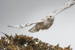 Snowy Owl (jim sonia) Tags: birds massachusetts places salisbury snowyowl usa bird