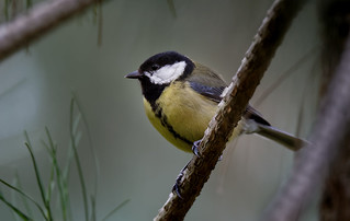 a Great tit in forest