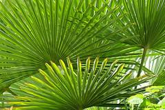 """Geometrie Vegetali - (guardare in Large premere L) (Ferruccio Zanone) Tags: """"chamaerops humilis"""" """"palma di san pietro"""" palma foglie verde"""