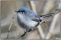 Blue-gray gnatcatcher (male). View large (RKop) Tags: cincinnati californiawoodspark ohio raphaelkopanphotography d500 nikkor600f4evr 14xtciii warblers warbler