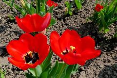 W ogrodzie. (andrzejskałuba) Tags: polska poland pieszyce dolnyśląsk silesia sudety europe panasoniclumixfz200 roślina plant kwiat flower kwiaty flowers tulipan tulip czerwony red zieleń green garden ogród natura nature macro 100v10f