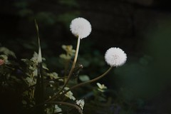 (StayFair) Tags: takumar135mm canoneos1000d dandelionclock wishes spring garden flowers