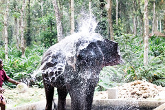 Enjoying the Shower (KamPhotography3) Tags: elephant shower animal funtime dubare camp dubareelephantcamp munnar water watersplash
