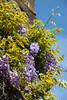 Grape blossoms (Martin Bärtges) Tags: nature flowers nikon spring sunshine sun purple blossoms grape