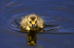 First day of life (MaiGoede) Tags: kanadagans canadagoose küken chick ruhrgebiet ruhr nature natur naturfoto nikon
