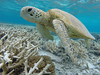 Green Sea Turtle (n.weigner) Tags: greenseaturtle seaturtle greatbarrierreef coralreef endangered endangeredspecies threatenedspecies