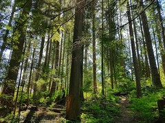 The woods on a sunny day (walneylad) Tags: princesspark northvancouver britishcolumbia canada park parkland urbanpark woods woodland forest urbanforest rainforest trees logs moss ferns trail may spring afternoon sun brown green view scenery nature bark leaves rocks light shadows