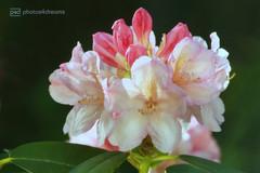rhododendron (photos4dreams) Tags: myownpersonalrhododendronp4d photos4dreams p4d photos4dreamz nature garden mysecretgarden tränendesherz heart flower blume pink rosa small flowers blumen photos photo