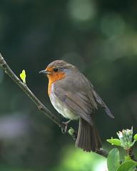 Spring Robin (Treflyn) Tags: robin spring back garden earley reading berkshire uk