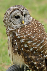 Barred Owl IV (khertrich) Tags: barred owl
