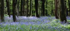 Cumbrian Bluebells (After-the-Rain) Tags: bluebells cumbria may2018 ©joanthirlaway softfocus flowers trees wood