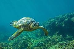 turtle2Mar30-18 (divindk) Tags: cheloniamydas hawaii hawaiianislands honokeana honu maui napili napilipointresort underwater diverdoug endangeredspecies greenseaturtle marine ocean reef sea seaturtle turtle underwaterphotography
