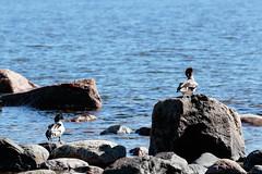 isokoskelot (Cano Vääri) Tags: 2018 mergusmerganser uutela balticsea birds helsinki isokoskelo rocks särkkäniemi vuosaari common merganser