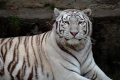 IMG_5131-2 (olivier.demoli) Tags: tigre blanc