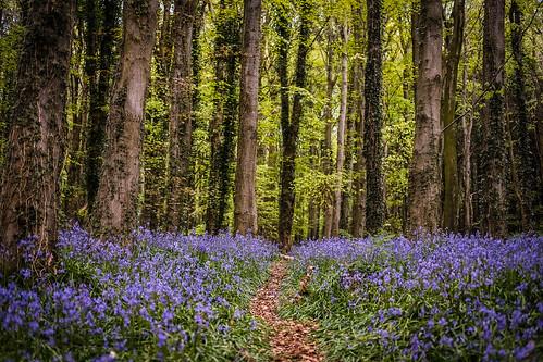 Bluebells Ireland