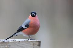_MG_5394 Bouvreuil pivoine ♂ (Bachibouzouk007) Tags: bouvreuilpivoine oiseau