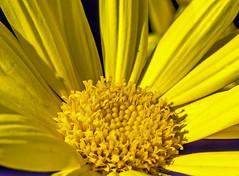 Close Up - Flower Head  ( Olympus OM-D EM1-II & M.Zuiko 60mm f2.8 Macro Prime) (1 of 1) (markdbaynham) Tags: flower flowerhead macro petal nature olympus omd olympusomd mft mirrorless evil mzd 60mm zuikolic mzuiko m43 micro43 microfourthird em1 em1mk2 em1ii primelens prime yellow