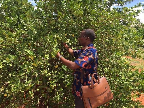 Lemon #farm located in #Guriel #Guriceel #Somalia #Galmudug