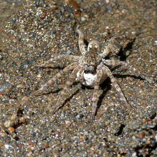 WOLF SPIDER female with egg sac