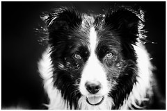 My Mist (JJFET) Tags: border collie dog sheepdog herding