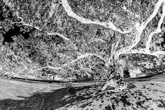 300+ yr old Oak - inverted B&W (Explore) (TAC.Photography) Tags: inexplore mono monochrome bw blackwhite blackandwhite 50faves tree invert historic history oldtree tacphotography tomclarknet