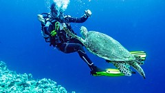 let's dance (werner boehm *) Tags: wernerboehm turtle schildkröte scubadiving egypt sinai redsea