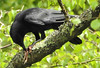 Carrion Crow with amphibian prey. (dugwin2) Tags: carrion crow devouring frog woolmer pond hampshire