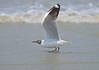 Take Off Jump... (Anirban Sinha 80) Tags: nikon d610 fx 500mm f4 ed vrii n g bokeh sea shore natural bird gull wings flight