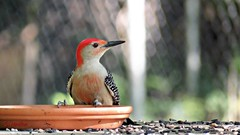 Over Here Guys! Look What I Found!!! (Suzanham) Tags: woodpecker redbelliedwoodpecker mississippi red bird wildlife nature picidae plumage seeds