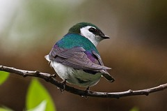Violet-Green Swallow - Male (jerrygabby1) Tags: