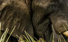 EYE OF THE ELEPHANT: (John C. Bruckman @ Innereye Photography) Tags: botswana elephants okavangodelta chobenationalpark linyantiregion floodplainsofthechoberiver diet parenting femaleroles matriarch maleroles herbivorous water sources herd affection grieving coth5 ngc eyeoftheelephant
