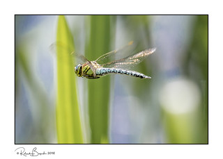 Hairy Dragonfly in flight m (Brachytron pratense)