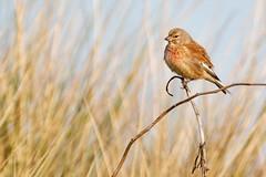 Linnet (Richard J Hunt) Tags: canon700d bird birdwatching dunes formby linnet