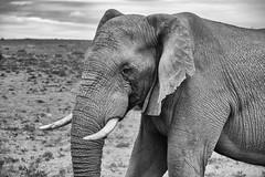 Elephant in Black and White (zenseas) Tags: africa male wild workingholiday workingvacation southafrica elephant bullelephant amakhalagamereserve vacation africanelephant holiday loxodontaafricana bw blackandwhite monochrome