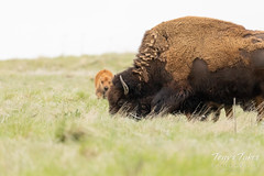 Bison cow with her calf in the background